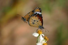 Mariposa llana del tigre Imágenes de archivo libres de regalías