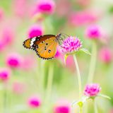 Mariposa llana del tigre Imagen de archivo libre de regalías