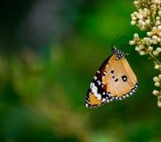 Mariposa llana del tigre foto de archivo libre de regalías