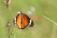 Mariposa llana del tigre en parque foto de archivo libre de regalías