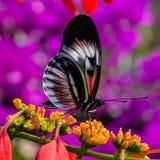 Mariposa longwing de la llave blanca, negra, roja del piano en la flor amarilla imagenes de archivo
