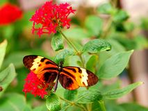 Mariposa longwing de Numata que alimenta en las flores Foto de archivo libre de regalías