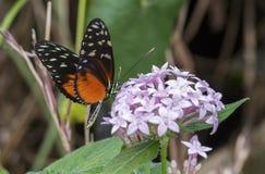 Mariposa longwing del tigre, hecale de Heliconius Foto de archivo