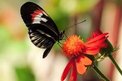 Mariposa longwing dominante del piano Imagen de archivo