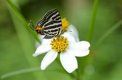 Mariposa, Lycaenidae Fotos de archivo