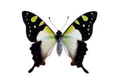 Mariposa - Macleays Swallowtail Foto de archivo