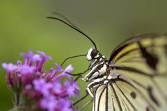 Mariposa macra bonita que descansa sobre la flor Imagenes de archivo
