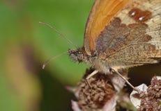 Mariposa macra en un arbusto de zarzamora, foto admitida el Reino Unido imágenes de archivo libres de regalías