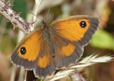 Mariposa macra en un arbusto de zarzamora, foto admitida el Reino Unido foto de archivo
