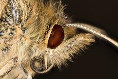 Mariposa - madera manchada, aegeria de Pararge Fotografía de archivo