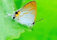 Mariposa manchada Foto de archivo