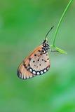 Mariposa manchada Fotografía de archivo libre de regalías