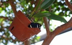 Mariposa manchada azul Imagen de archivo libre de regalías