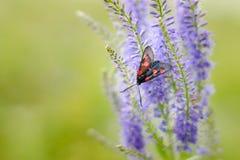 Mariposa manchada en una flor salvaje fotos de archivo libres de regalías