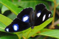 Mariposa manchada negro Fotografía de archivo libre de regalías