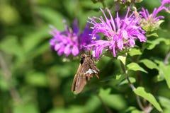 Mariposa manchada plata del capitán Imagen de archivo