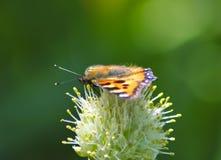 Mariposa maravillosa en la macro de la flor Imagen de archivo libre de regalías