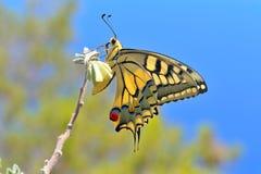 Mariposa maravillosa en naturaleza Imagen de archivo libre de regalías