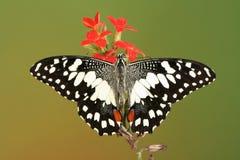Mariposa marcada con cuadros del swallowtail con las alas abiertas Imagen de archivo libre de regalías