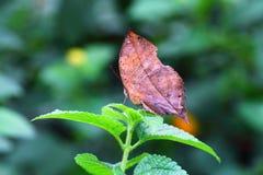 Mariposa marchitada de la hoja Fotografía de archivo libre de regalías