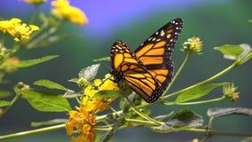 Mariposa, mariposas, insectos, flores almacen de metraje de vídeo