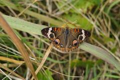 Mariposa marrón única Imagen de archivo libre de regalías