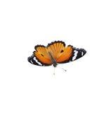 Mariposa marrón anaranjada en el fondo blanco fotos de archivo
