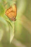 Mariposa marrón del prado Fotografía de archivo