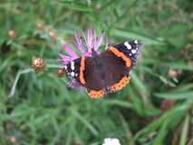 mariposa marrón en las flores púrpuras fotografía de archivo libre de regalías