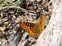 Mariposa marrón hermosa - una foto 2 Imagen de archivo libre de regalías