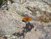 Mariposa marrón hermosa - una foto 3 Fotos de archivo libres de regalías
