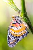 Mariposa masculina de los euanthes del cyane de Cethosia del Lacewing del leopardo Imagen de archivo