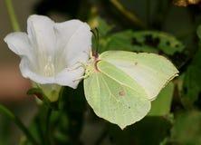 Mariposa masculina del azufre en la flor Foto de archivo libre de regalías