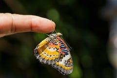 Mariposa masculina del lacewing del leopardo (euanthes del cyane de Cethosia) Foto de archivo