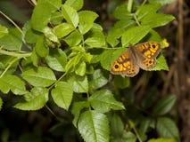 Mariposa masculina del marrón de la pared Imagen de archivo libre de regalías
