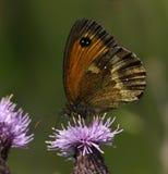Mariposa masculina del portero Imagen de archivo