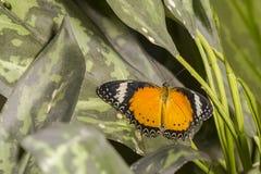 Mariposa masculina: Lacewing del leopardo en la hoja Fotografía de archivo libre de regalías
