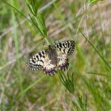 Mariposa meridional del adorno en su hábitat Foto de archivo