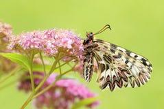 Mariposa meridional del adorno - polyxena de Zerynthia Imagen de archivo libre de regalías