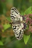Mariposa meridional del adorno - polyxena de Zerynthia Fotos de archivo