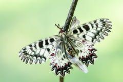 Mariposa meridional del adorno - polyxena de Zerynthia Fotos de archivo libres de regalías