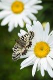 Mariposa meridional del adorno - polyxena de Zerynthia Foto de archivo
