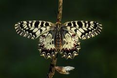 Mariposa meridional del adorno - polyxena de Zerynthia Imagen de archivo