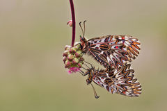 Mariposa meridional del adorno (polyxena de Zerynthia) Imagen de archivo libre de regalías