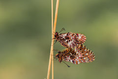 Mariposa meridional del adorno (polyxena de Zerynthia) Fotos de archivo libres de regalías