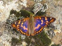 Mariposa Metis del Apatura Imagen de archivo