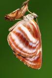 Mariposa, miah de Neptis Imagenes de archivo