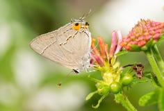 Mariposa minúscula de Gray Hairstreak que descansa sobre un flowerhead del Lantana fotografía de archivo libre de regalías
