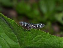 Mariposa misteriosa de debajo la hoja Imagen de archivo libre de regalías