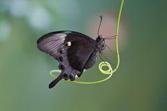 mariposa mito бабочки Стоковые Изображения RF